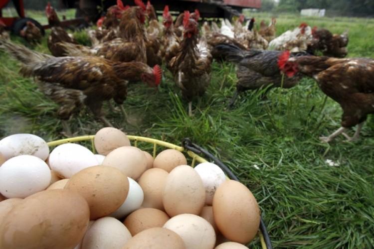 Kesilen Tavuk Sayısı ve Yumurta Üretimi Eylül Ayında Arttı