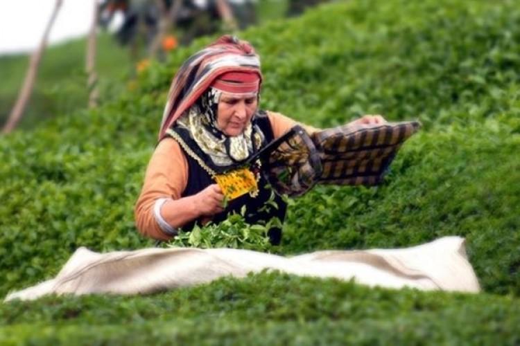 Çay Üreticisine 230 Milyon Liralık Budama Desteği Bugün Ödenecek