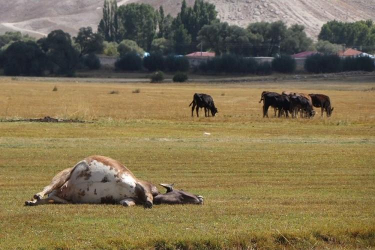 İthal hayvanlar kontrol edilemiyor: Kayseri'de İki Mahalle Karantinaya Alındı