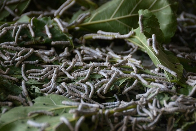 İpek Böceği Destek Ödemeleri Bugün Hesaplara Yatıyor