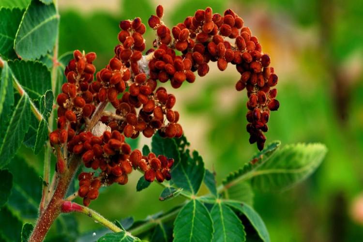 Sumak bitkisinin yetiştiriciliği ve faydaları