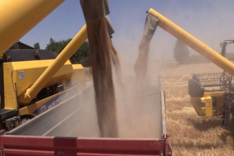 Şanlıurfa'da yerli tohumda hasat bereketi
