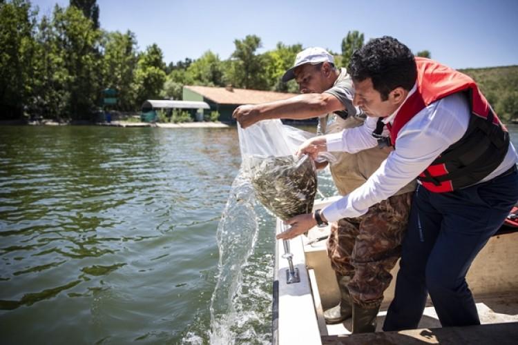 Ankara'da Sazan Yavruları Göl Ve Göletlerle Buluştu