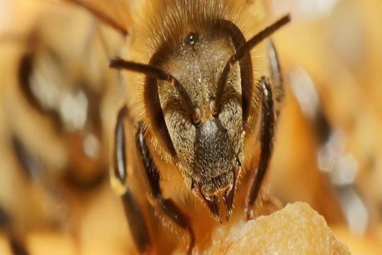 Arılar 19 Tarım İşçisini Hastanelik Etti
