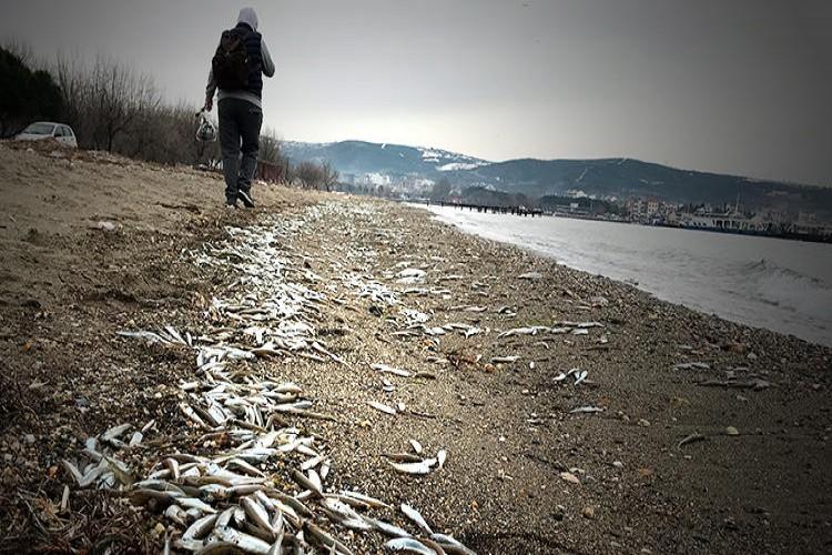 Karaya vuran gümüş balığı sürüsü martılara yem oldu