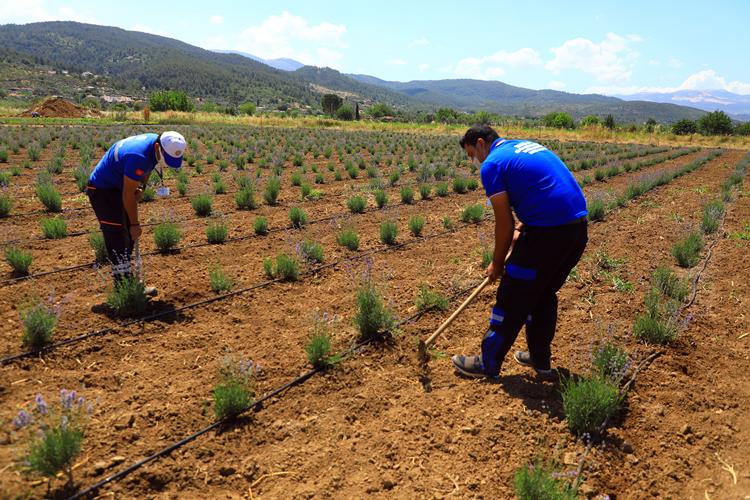Büyükşehir Üreticiye 32 Bin 500 Adet Tıbbi ve Aromatik Bitki Fidanı Dağıttı
