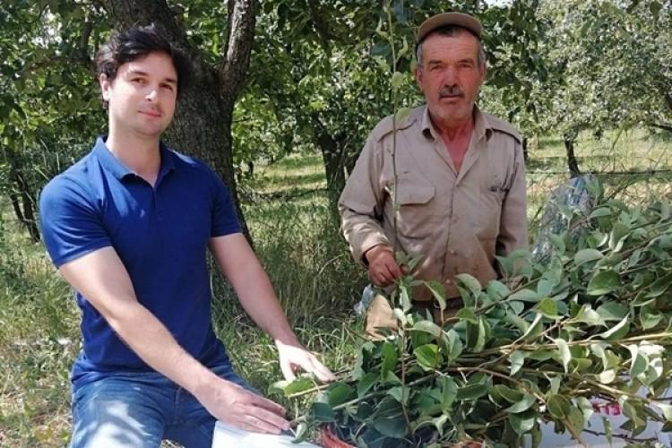 Kızık (Abbasi Armudu) Meyve Bahçesi Tesisi İçin Fidan Üretilecek