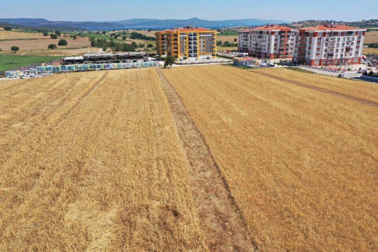 Bin Yıllık Miras Karakılçık Buğdaylarının Hasadı Yapıldı