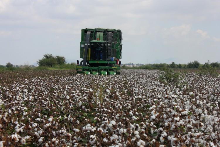 OECD-FAO: Türkiye genetik olarak değiştirilmemiş pamuk üreten ülkeler arasında