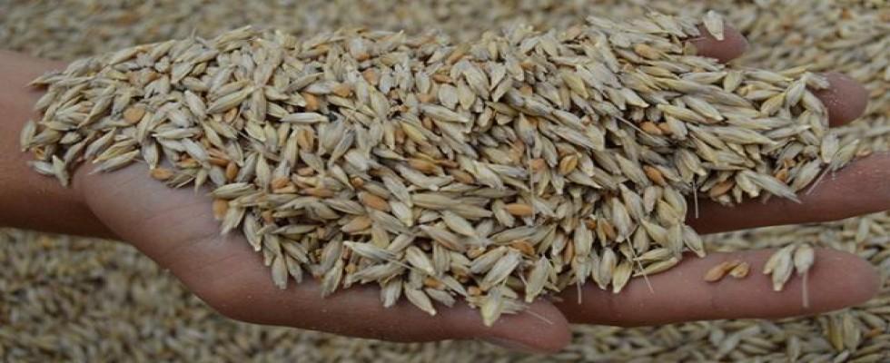Siyez buğdayı 3000 yıl sonra Frigya'da üretildi