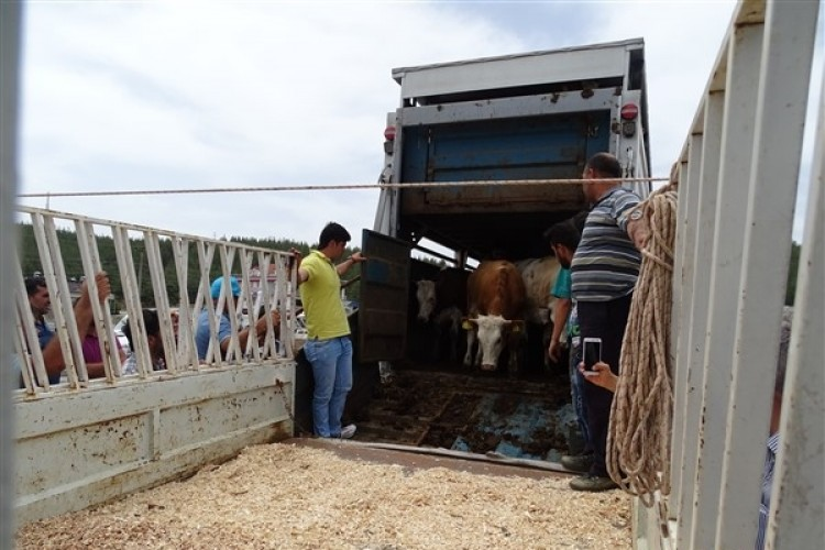 Seydikemer'in Genç Çiftçileri Büyükbaş Hayvanlarına Kavuştu