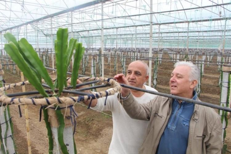 İş Makinelerinden Bıktı 100 Bin Dolarlık 'Ejder Meyvesi' Üretimine Girdi