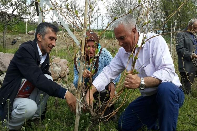 Tosya Kayaönü Köyünde Bağlarda Budama Eğitimi Verildi