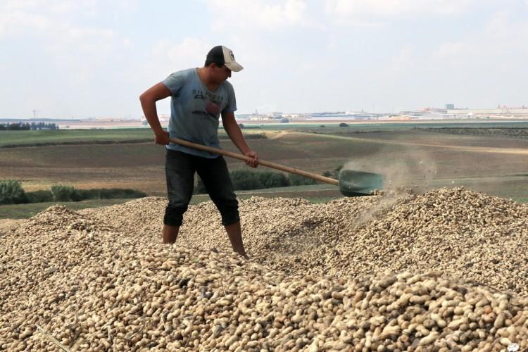 Türkiye'deki 165 bin ton yer fıstığı üretiminin 100 bin tonu Adana'dan