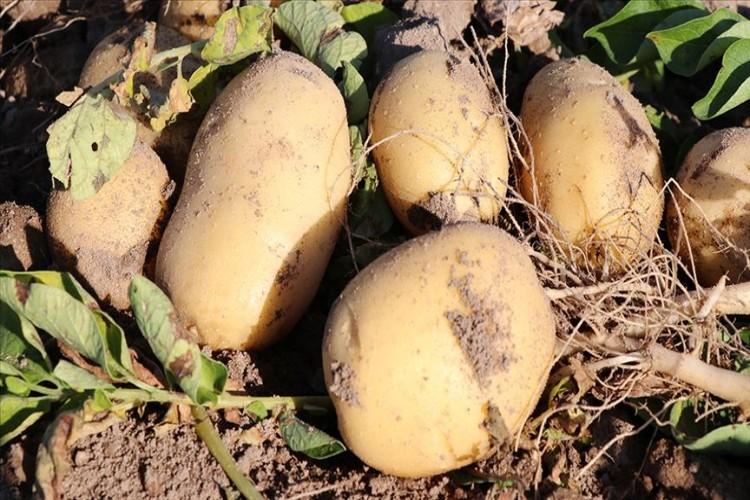 Niğde'de yerli 2 patates çeşidi daha geliştirildi