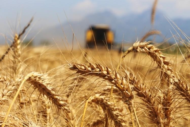 Buğday çiftçisine bayram müjdesi