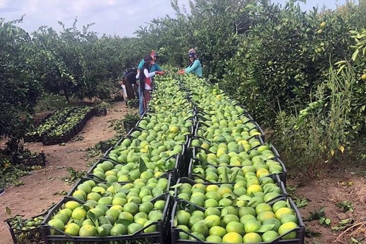 İlk 9 Ayda 460 Ton Limon Geri Döndü
