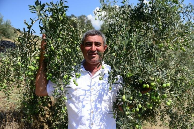 Dağı Taşı Zeytin Bahçesine Çevirdiler, Rekor Üretim Bekliyorlar