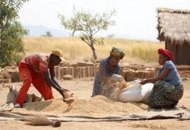 FAO: Tahıl üretiminde düşüş bekleniyor
