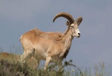Bu koyunları avlamanın cezası 245 bin lira