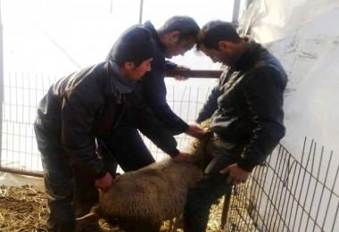 Anaç Koyun-Keçi Ve Damızlık Koç Destekleme Tespit Çalışmaları Başladı