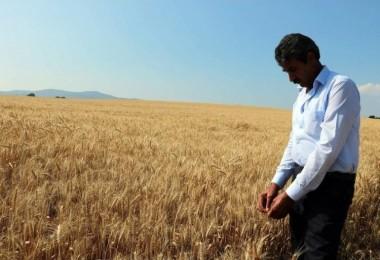 Hasadı başlayan buğday çiftçiyi mutlu etmedi
