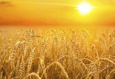 TMO Buğday Fiyatlarını Dengelemek İçin 2 Milyon Ton Satış yapacak
