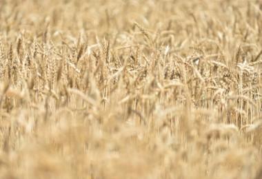 Üreticilere Alternatif Olacak Şanlı Buğday Çeşidi Tanıtıldı