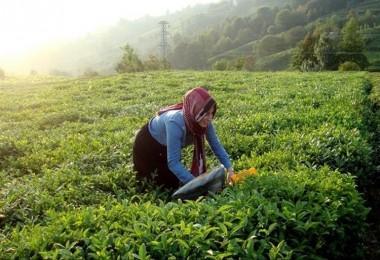 Kırsal Kalkınmada Çay Üreticisine Destek