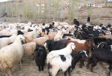 Hayvancılık Desteklemeleri Uygulama Tebliğinde Değişiklik Yapıldı