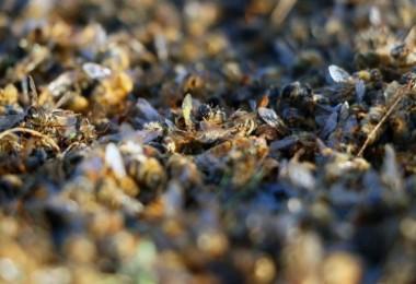 Türkiye'de arı ölümleri arttı