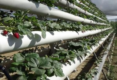Hobi Olarak Başladığı Topraksız Tarımda, 40 Hektarlık Alanda Üretim Yapacak