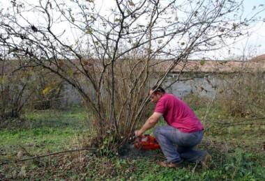 Fındık Üreticisinden TMO'ya Alım Tepkisi! Ağaçlarını Kesti