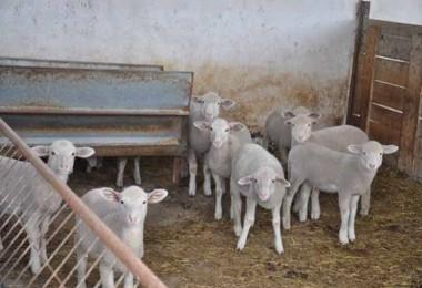 Önce köpekleri zehirlediler sonra da koyunları çaldılar