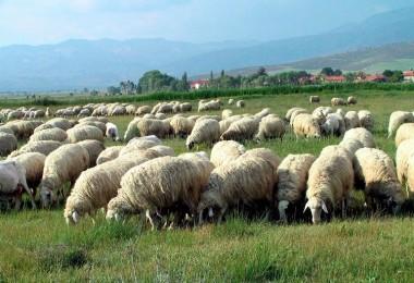 Anaç Koyun Keçi Destekleme Müracaatı Nasıl Yapılır
