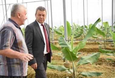 Antalya' da 5 yılda Muz Üretimi % 177 Arttı