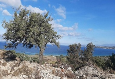Çeşme Çiftlikköy'de 20 Bin Sakız Fidanı Daha Toprakla Buluşacak