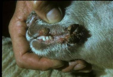 183 mihrakta Koyun-Keçi çiçeği hastalığı tespit edildi