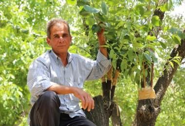 Hiç sulamadan aynı ağaçta 4 çeşit meyve yetiştirdi