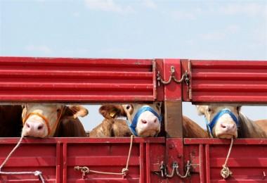 101 Ülkeden Büyükbaş, 135 Ülkenin Hayvan Sayısından Fazla Küçükbaş Kurbanlık Kesilecek