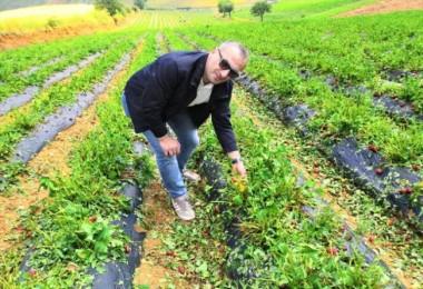 Manisa'daki dolu ve sel çilek hasadını olumsuz etkiledi