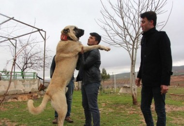 Bu köpekler otomobil fiyatına satılıyor!