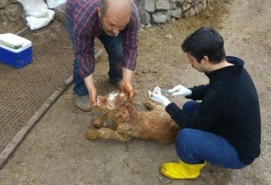 Şebinkarahisar'da Buzağı Sağlığı Projesi Çalışmaları Devam Ediyor