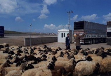 Van'dan Katar'a 30 Yıl Sonra Küçükbaş Hayvan İhracatı