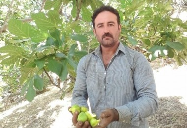 Aydın'da İncir Üretimi SOS Veriyor