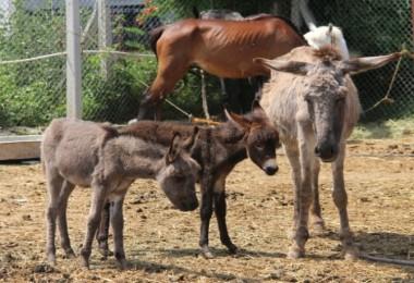 Sudan'dan At, Eşek Ve Katır Eti Gelecek