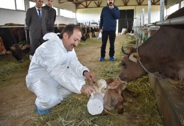 Vali Pehlivan'dan yeni doğan buzağıya yaşam desteği