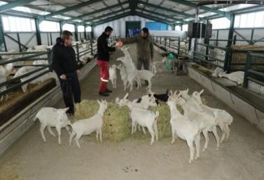 Kravattan sıkıldı, keçi çiftliği kurdu