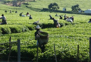 Dünya Çay Üretiminde Artış Bekleniyor
