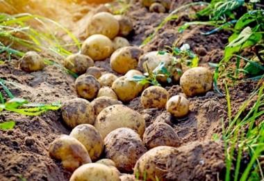 Türkiye'de Patates Üretimi %5,2 azaldı